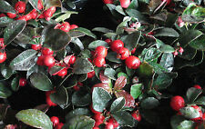 Wintergreen / Eastern Teaberry - Gaultheria Procumbens - 25 seeds - Evergreen