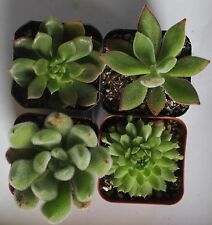 """jiimz 4 GREEN SUCCULENT COLLECTION 4 ROOTED SPECIMENS IN 2"""" POTS AND SOIL"""