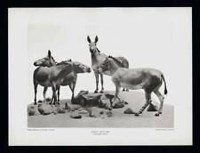 PHOTOGRAVURE CARL E. AKELEY SOMALI WILD ASS SOMALILAND AFRICA TAXIDERMY