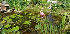 Tannenwedel auffällige Teichpflanze für jeden Teich - 5 Stück