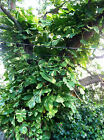 BUY 2 GET 2 FREE ! Cuttings Giant Pothos philodendron Money Tree house plant