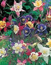 Pack Aquilegia 'McKanas Giant' Mix Perennial Garden Flower Seeds King's Seeds