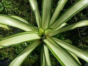Bromeliad Neoregelia Ardie Mad Happenings Exotic Tropical Plant