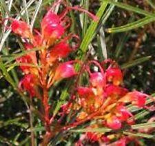 FIRE SPRITE Grevillea venusta longistylla Native red flower plant in 140mm pot