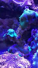 New listing live coral colony wysiwyg/ Green Lava Lamp Discosoma Colony Coral