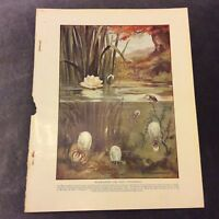 Vintage Book Print - Water Spiders and their Diving-Bells