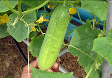Cucumber Vegetable Plant Seed Fresh Delicious Vegetable Garden Plant Seed 20 Pcs