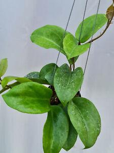 Hoya surigaoensis  [B22F01], 1 pot 10-12 inches