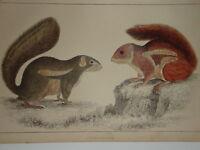 C1850 Cuvier Goldsmith Estampado Fire-Footed Squirrel Etc