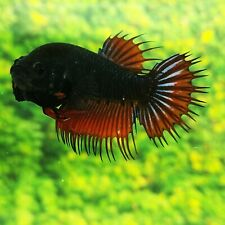 Live Betta Fish Black Orange Mustard CT Female from Indonesia Breeder
