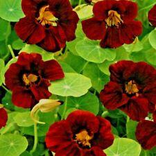 Nasturtium Black Velvet Tropaeolum majus nanum - Appx 60 seeds