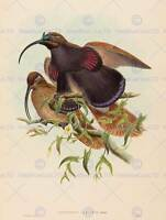 JOHN GOULD W HART BRITISH BLACK BILLED SICKLEBILL BIRD PARADISE PRINT BB5925B
