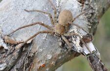 New listing Heteropoda Venatoria~Subadult Spider☆Live Arachnid☆Insect~Vivariu m~Feeder~Bug