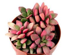Anacampseros rufescens @@ variegated multy color leaves variegata seed 100 seeds