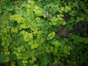 LOOK! CREEPING JENNY GROUND COVER - SET OF TWO (2) PLANTS