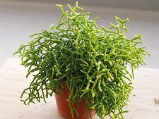MISTLETOE CACTUS (Rhipsalis cereuscula) 10 seeds