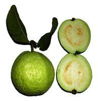 Echte Guave (Psidium guajava) 50 frische Samen