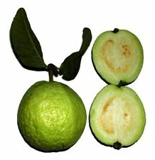 Real Guave (Psidium guava) 50 fresh seeds