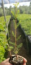 Bald Cypress, Bonsai material wetland restoration Taxodium Distichum.