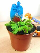 1 VENUS FLY TRAP INSECT KILLER CARNIVOROUS PLANT IN 9CM POT NATURAL PEST CONTROL