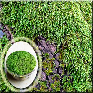 "2 Rock Cap Moss for Garden, Bonsai, or Patio Live 2.5"" Pot Plant"