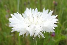 FLOWER CORNFLOWER CENTAUREA CYANUS WHITE 8000 FINEST SEEDS BULK