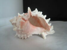 Conch Pink Sea Shell