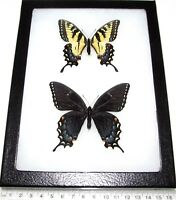 REAL FRAMED BUTTERFLIES PAPILIO GLAUCUS TIGER SWALLOWTAIL PAIR MALE FEMALE