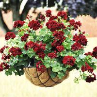 20 PCs Rare Geranium Flowers Seeds Black rose Pelargonium  Plant Perennial