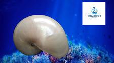 "7"" XXL Large Pearl Chambered Natural Nautilus Sea shell collector Aquarium Fish"