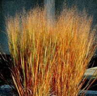 Dacotah Switch Grass- 250 Seeds- BOGO 50% off SALE