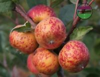 USA Heirloom Organic Wild Montana Apple 10-80 seeds