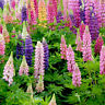 DI- HB- Mix-color Russell Lupine Seeds Lupinus Polyphyllus Garden Plant Bonsai F