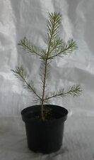 Scots Pine, Pinus Sylvestris, Evergreen Conifer Tree Plant. 30 - 50cm inc. pot.