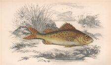 EURASIAN RUFFE. Ruffe, pope, Gymnocephalus cernua. COUCH 1862 old print