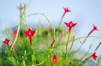 i! die FEDERWINDE !i Rankpflanze einjährig Saatgut Garten Balkon Samen Exot