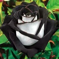 10 graines de Rosier rose NOIR & BLANC - 10x BLACK & WHITE Rose rosebush seeds