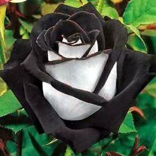 10 graines de Rosier rose NOIR & BLANC - 10x BLACK & WHITE Rose rosebush seeds