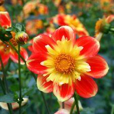 Dahlia Collarette Dandy Mix  - Dahlia variabilis - 120 seeds