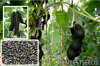 Mucuna pruriens 10 Seeds, Velvet bean, Unique Rare, Tropical Seeds From Thailand