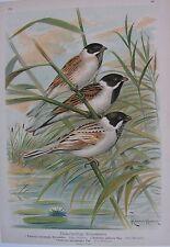 1905 ORTOLANO Uccelli Naumann Ornitologia Ornithology Emberiza Emberizidae