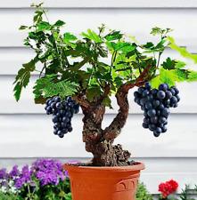 50Pcs Grape Bonsai Berry Seeds Rare Kind Tasty Eat Pereninal Organic Garden