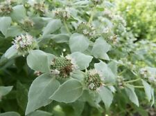 American Mountain Mint herb, Rare in UK Great for wildlife bees/butterfly seeds