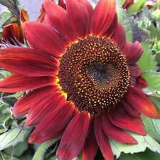 RED SUN RARE SUNFLOWER 20 SEEDS FLOWERS TALL CUT BEAUTIFUL NON-GMO HEIRLOOM USA