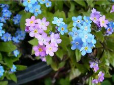 INDIGO BLUE GROUND COVER BEDDING  FORGET-ME-NOT MIXED FLOWER SEEDS / PERENNIAL