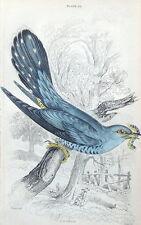 CUCKOO Jardine hand coloured antique bird print 1838