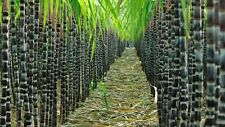Sugar Cane Seeds Sweet and Juicy Queensland Seed Garden Screen or Pot Plants