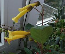 Sinningia aggregata, gelbe Form, 30 Samen, selten