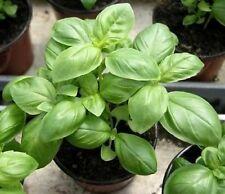 CLOVE BASIL / HIMALAYAN BASILl Ocimum Basilicum Herb Flower 30 Seeds