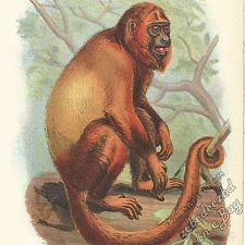 Red Howler Monkey: antique 1866 colour lithograph print - primate animal picture